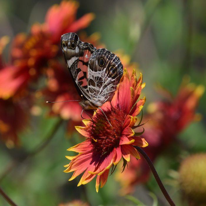 American Lady auf Kokardenblume (Gonzales Co., Texas)