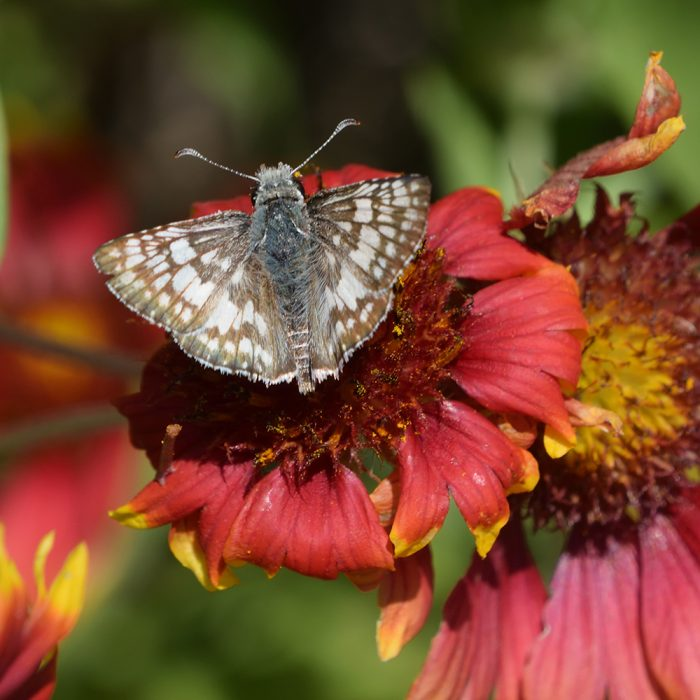 Common Checkered Skipper auf Kokardenblume (Gonzales Co., Texas)