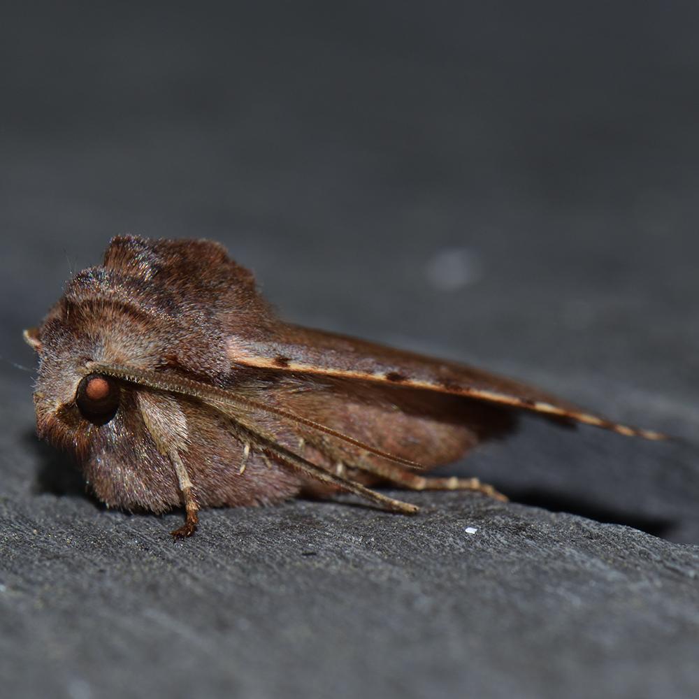 Rotbraune Frühlings-Bodeneule (Cerastis rubricosa) auf Holz