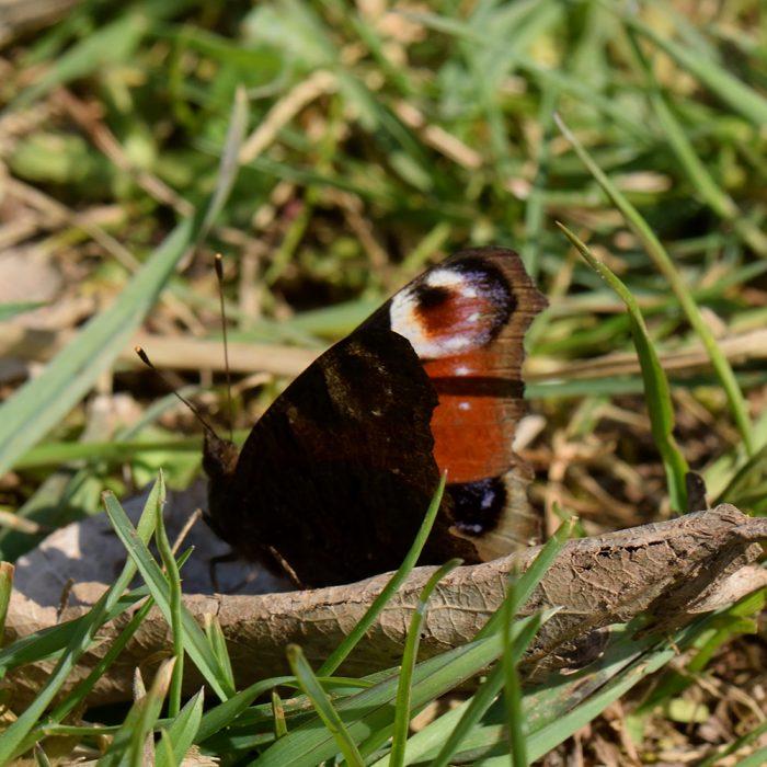 Tagpfauenauge (Aglais io) auf Wiese