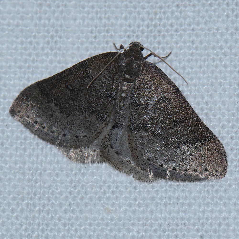 Schlehenheckenspanner (Aleucis distinctata) beim abendlichen Leuchten