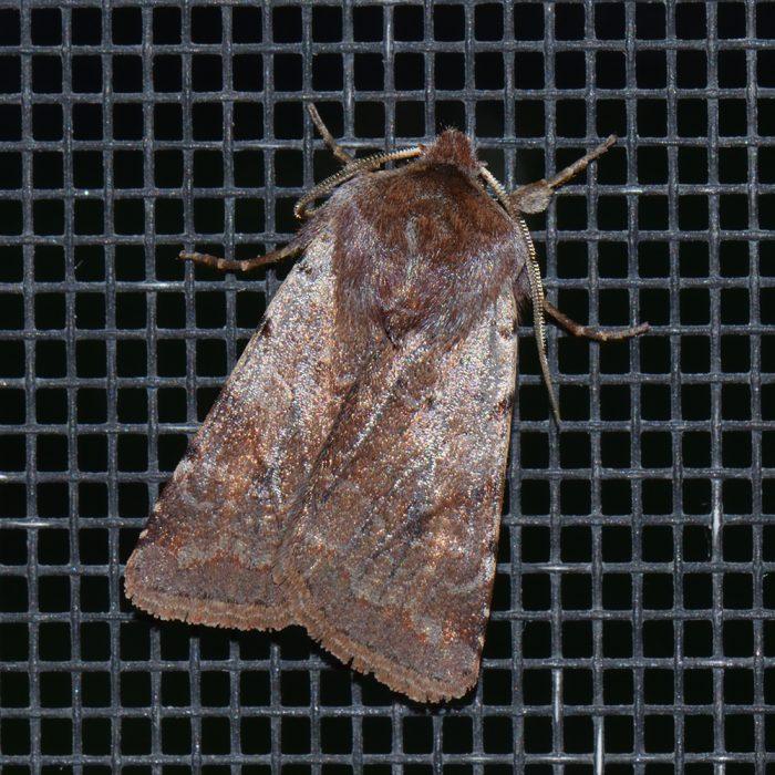 Rotbraune Frühlings-Bodeneule (Cerastis rubricosa) beim abendlichen Leuchten
