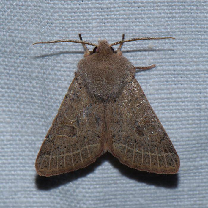 Rundflügel-Kätzcheneule (Orthosia cerasi) beim abendlichen Leuchten