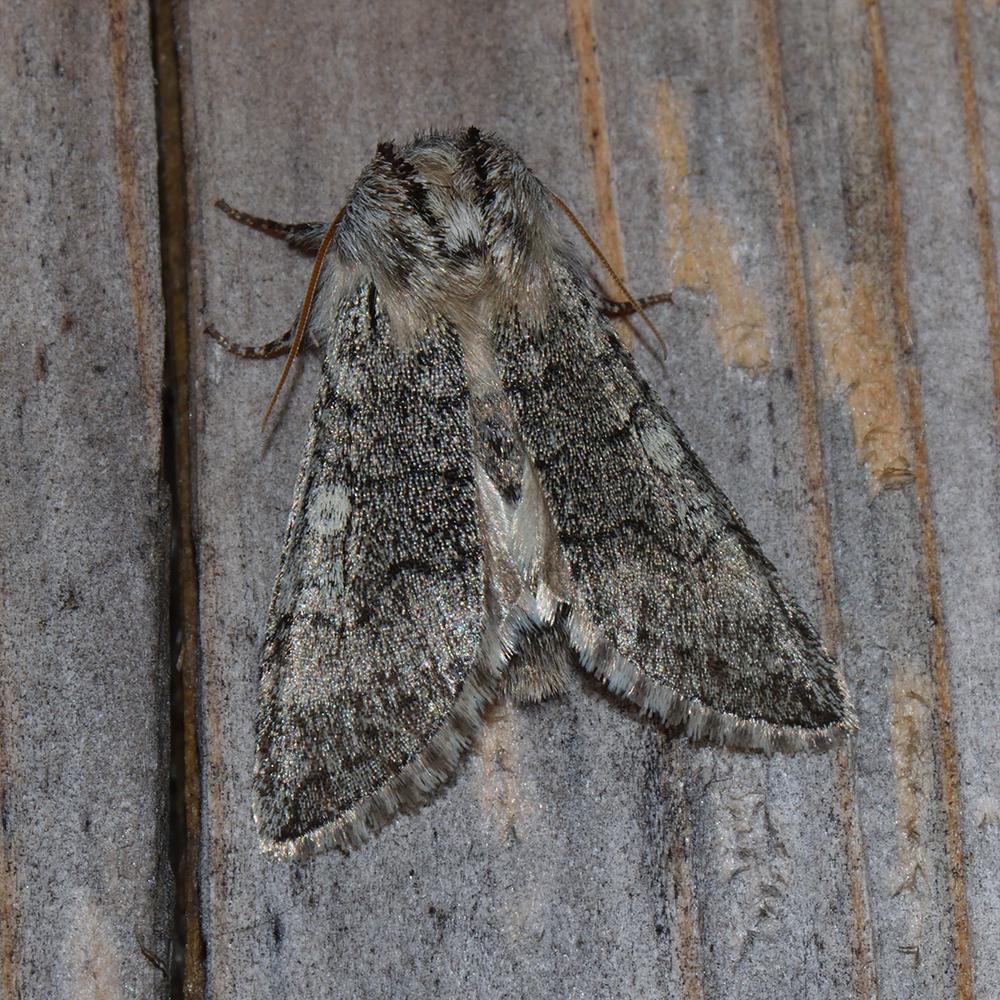 Gelbhorn-Eulenspinner (Achlya flavicornis) auf Holz