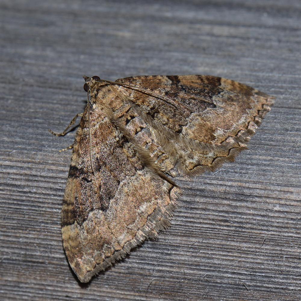 Großer Berberitzenspanner (Hydria cervinalis) auf Holz
