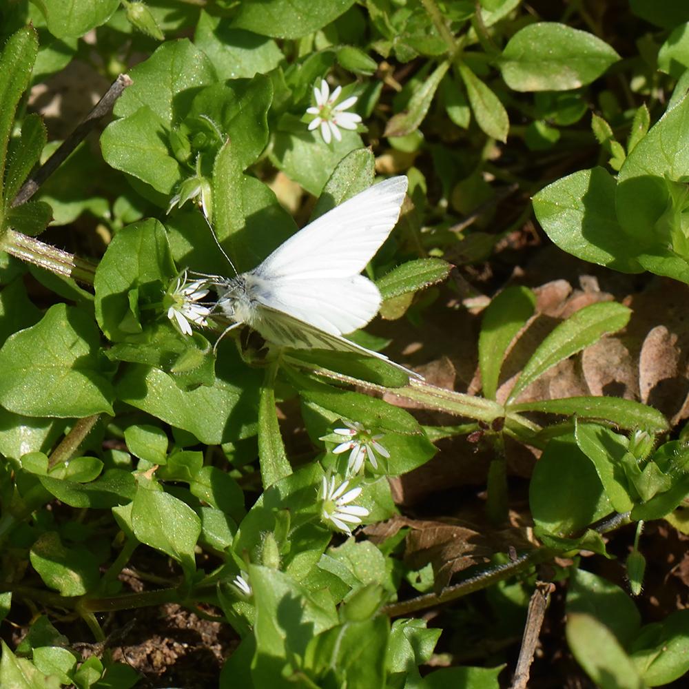 Grünader-Weißling (Pieris napi) auf Vogelmiere