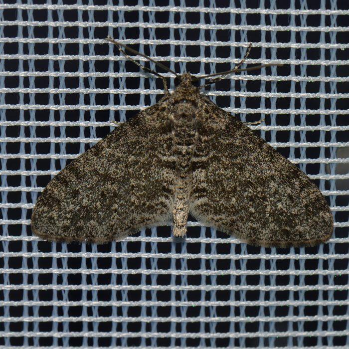 Grauer Lappenspanner (Lobophora halterata) beim abendlichen Leuchten