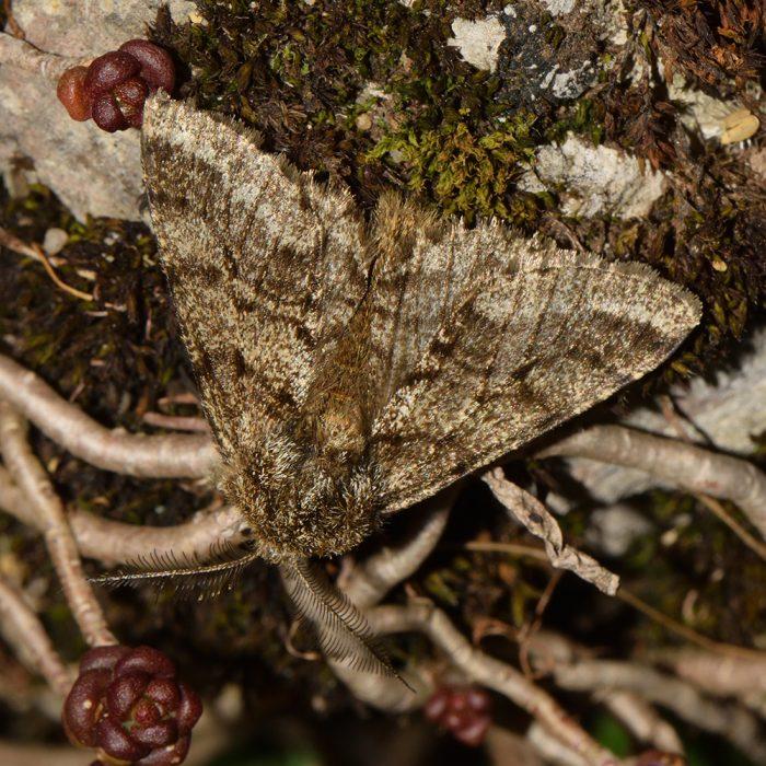 Schwarzfühler-Dickleibspanner (Lycia hirtaria) auf Weißem Mauerpfeffer