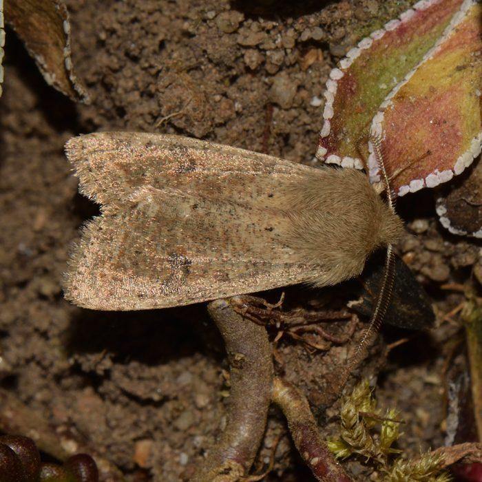 Kleine Kätzcheneule (Orthosia cruda) auf Weißem Mauerpfeffer