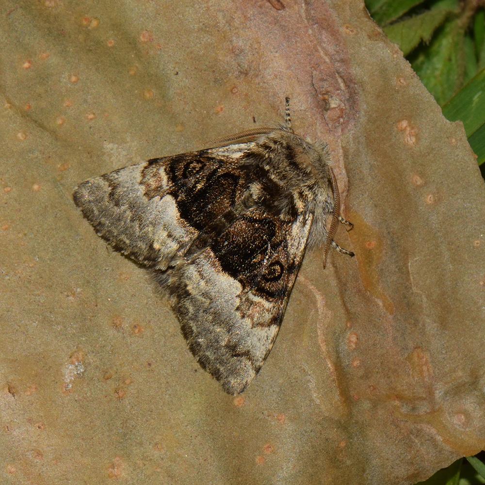 Haseleule (Colocasia coryli) auf Blatt