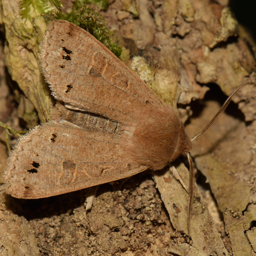 Zweifleck-Kätzcheneule (Anorthoa munda) auf Holz