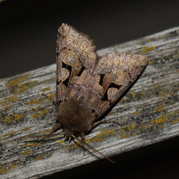 Gothica-Kätzcheneule (Orthosia gothica) auf Holz