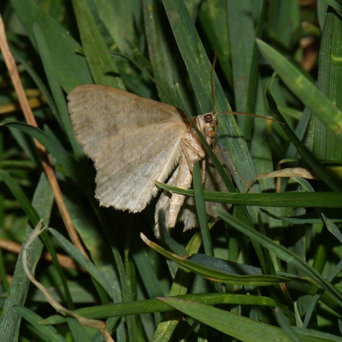 Zackenbindiger Rindenspanner (Ectropis crepuscularia) auf Wiese