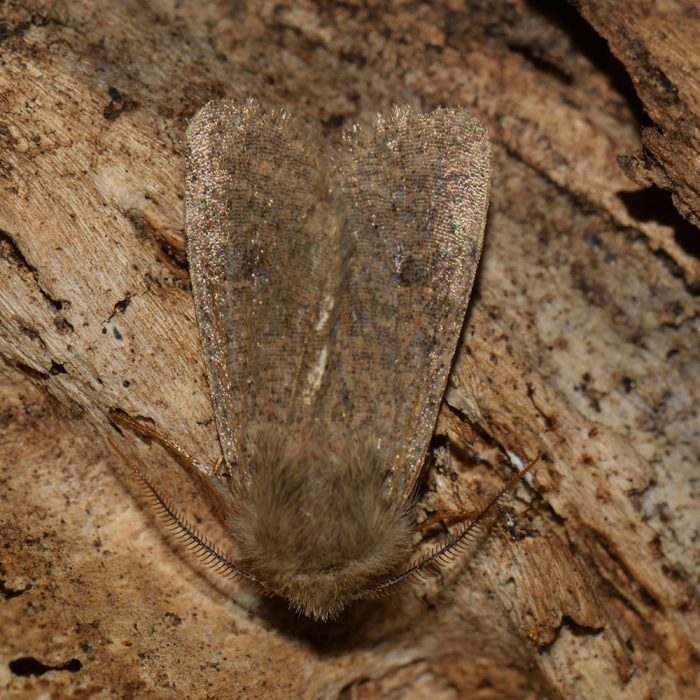 Kleine Kätzcheneule (Orthosia cruda) auf Holz