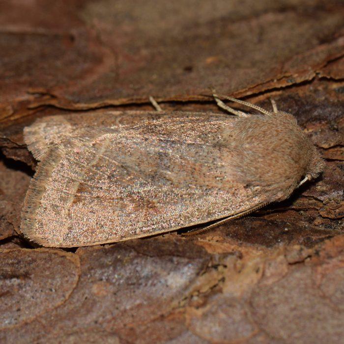 Rundflügel-Kätzcheneule (Orthosia cerasi) auf Holz