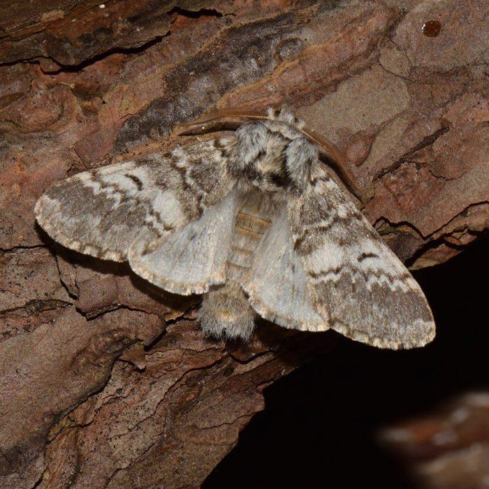 Dunkelgrauer Zahnspinner (Drymonia ruficornis) auf Holz
