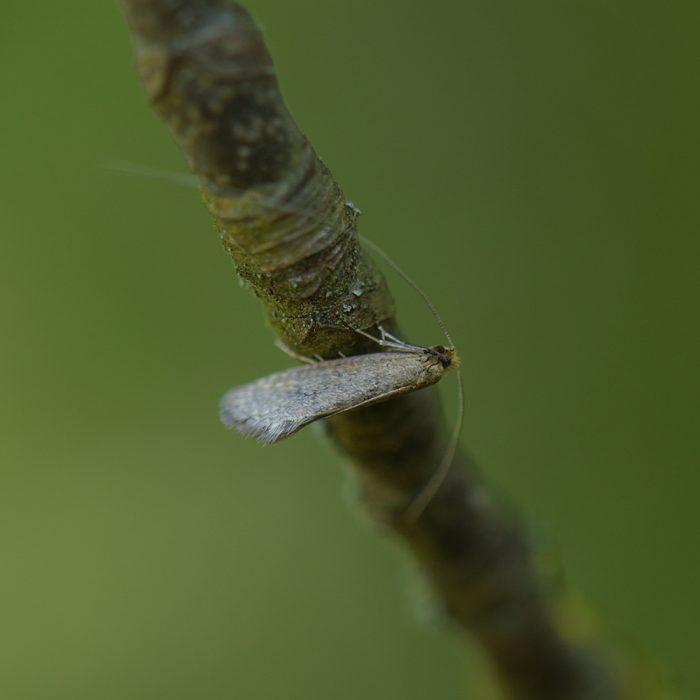 Frühlings-Langhornmotte (Nematopogon swammerdamella) auf Holz