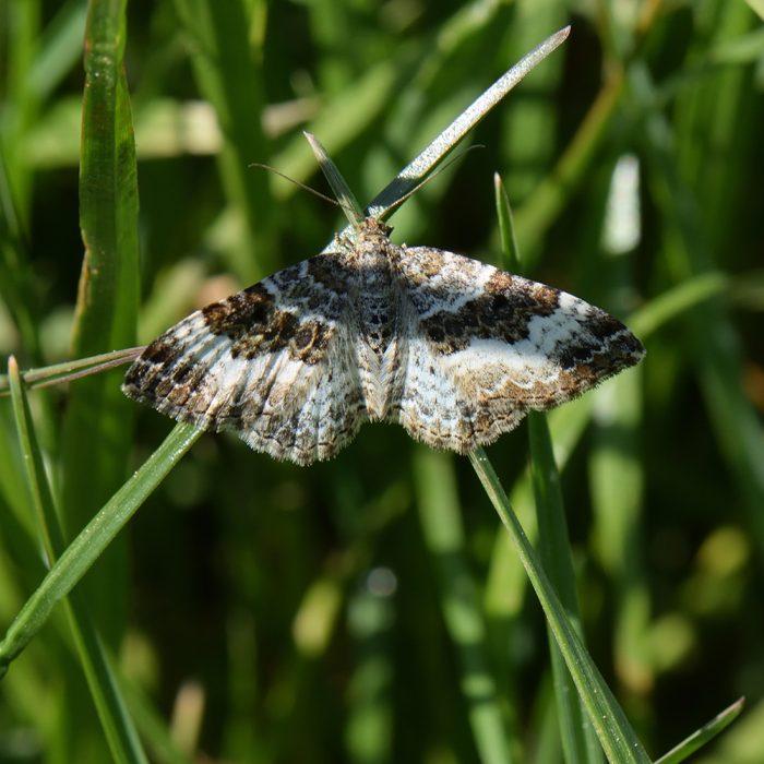 Graubinden-Labkrautspanner (Epirrhoe alternata) auf Gras