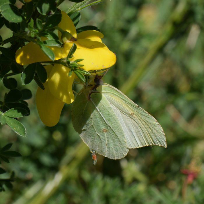 Zitronenfalter (Gonepteryx rhamni) auf Besenginster