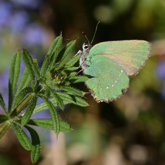 Grüner Zipfelfalter (Callophrys rubi) auf Labkraut