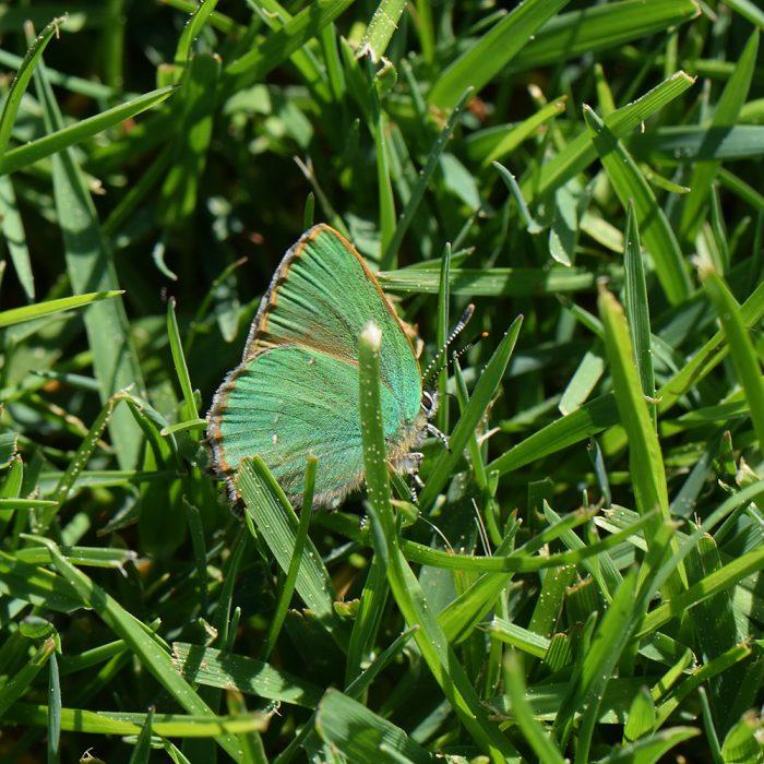 Grüner Zipfelfalter (Callophrys rubi) auf Wiese