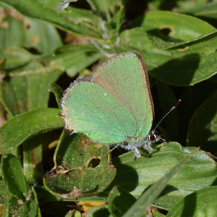Grüner Zipfelfalter (Callophrys rubi) auf Wegerich