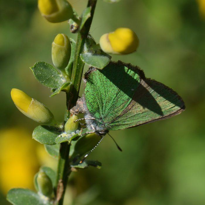 Grüner Zipfelfalter (Callophrys rubi) Ei auf Besenginster