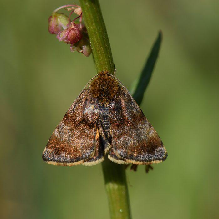 Hornkraut-Tageulchen (Panemeria tenebrata) auf Wiese