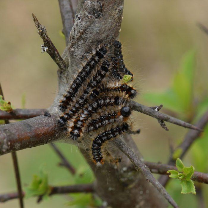Hecken-Wollafter (Eriogaster catax) Raupen auf Schlehe