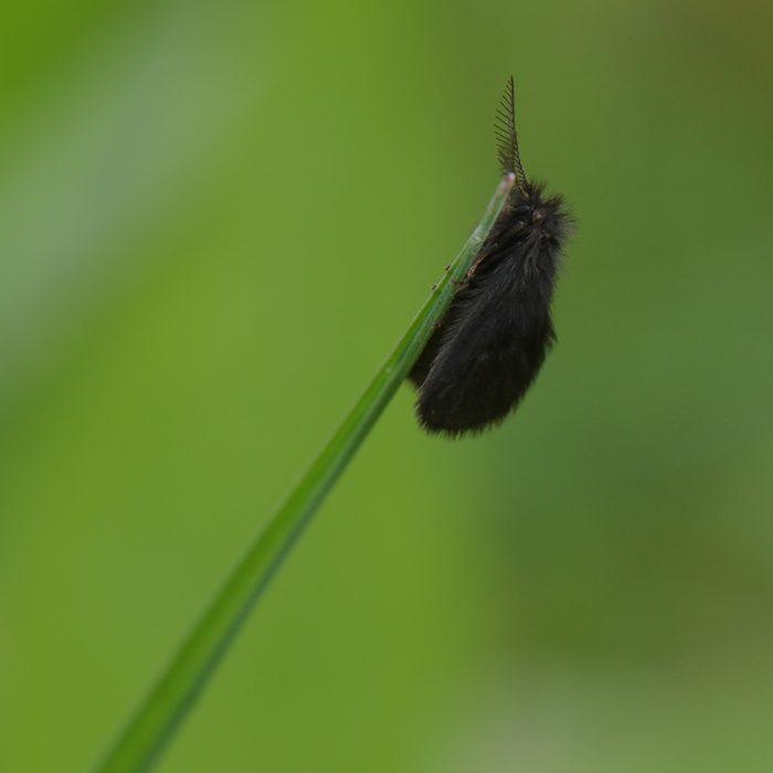 Kleiner Wollsackträger (Epichnopterix plumella) auf Gras