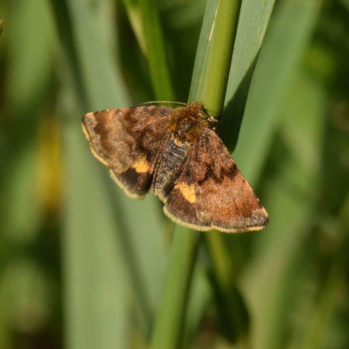 Hornkraut-Tageulchen (Panemeria tenebrata) auf Gras
