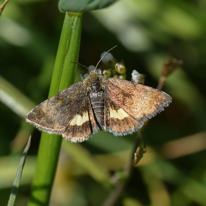 Hornkraut-Tageulchen (Panemeria tenebrata) auf Hirtentäschel