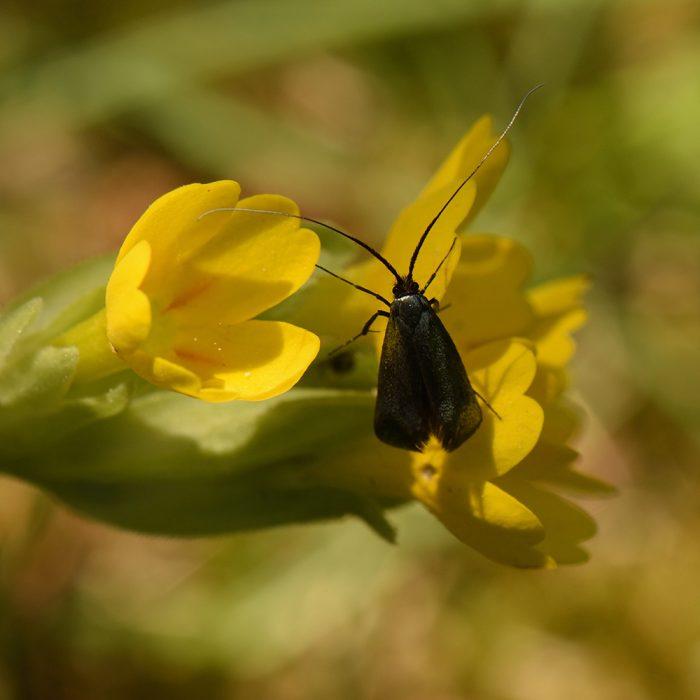 Langhornmotte (Adela reaumurella) auf Schlüsselblume
