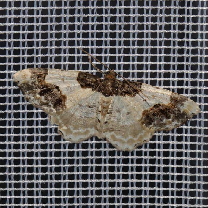 Pfaffenhütchen-Harlekin (Ligdia adustata) beim abendlichen Leuchten