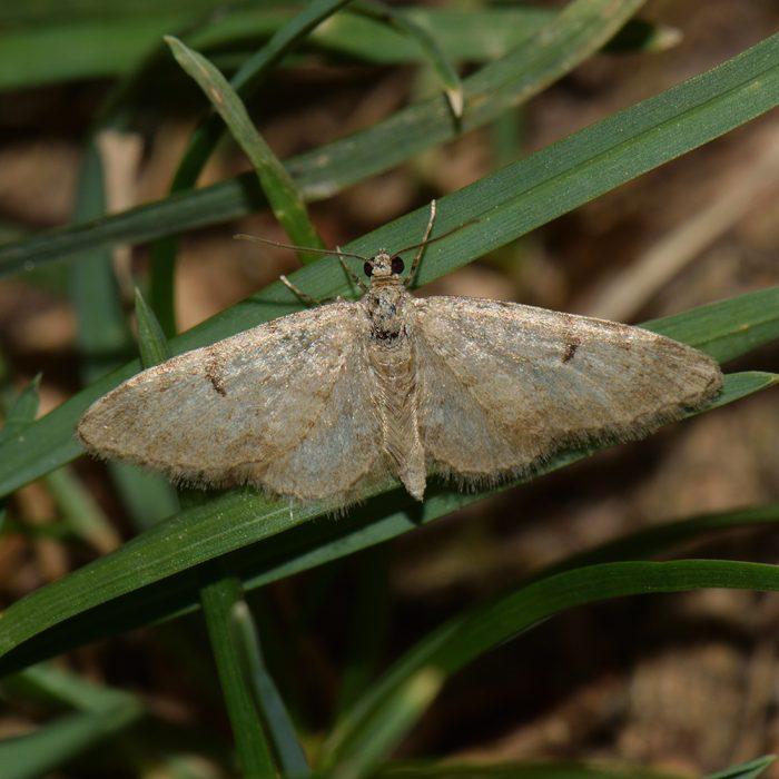 Kiefern-Blütenspanner (Eupithecia indigata) auf Gras