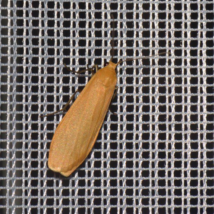Dottergelbes Flechtenbärchen (Eilema sororcula) beim abendlichen Leuchten