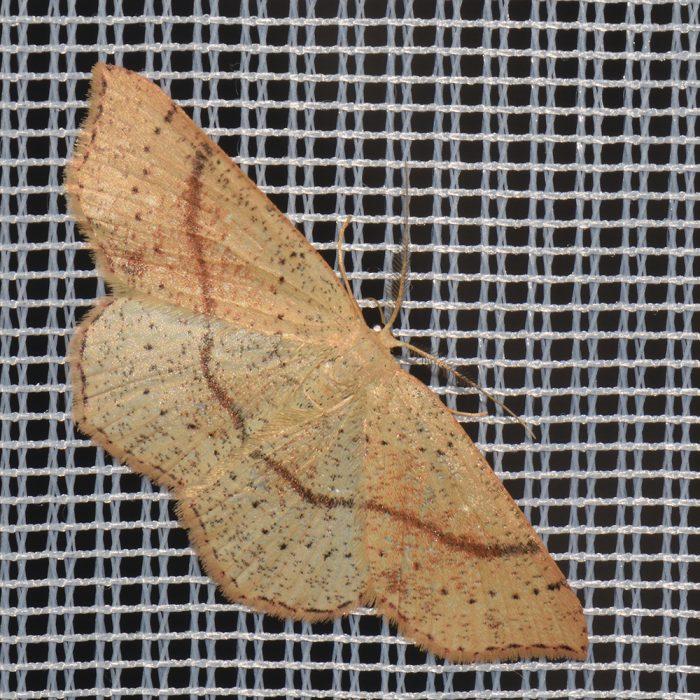 Gepunkteter Eichen-Gürtelpuppenspanner (Cyclophora punctaria) beim abendlichen Leuchten