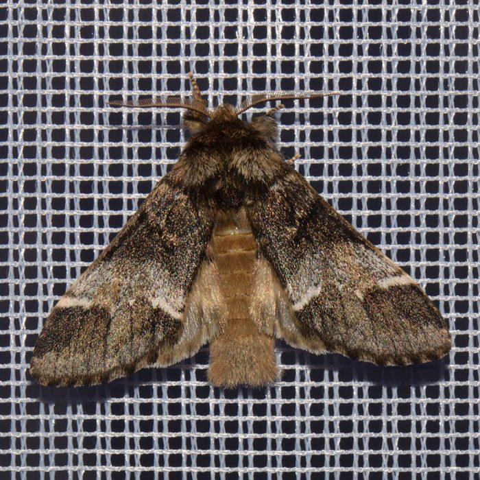 Ungefleckter Zahnspinner (Drymonia dodonaea) beim abendlichen Leuchten