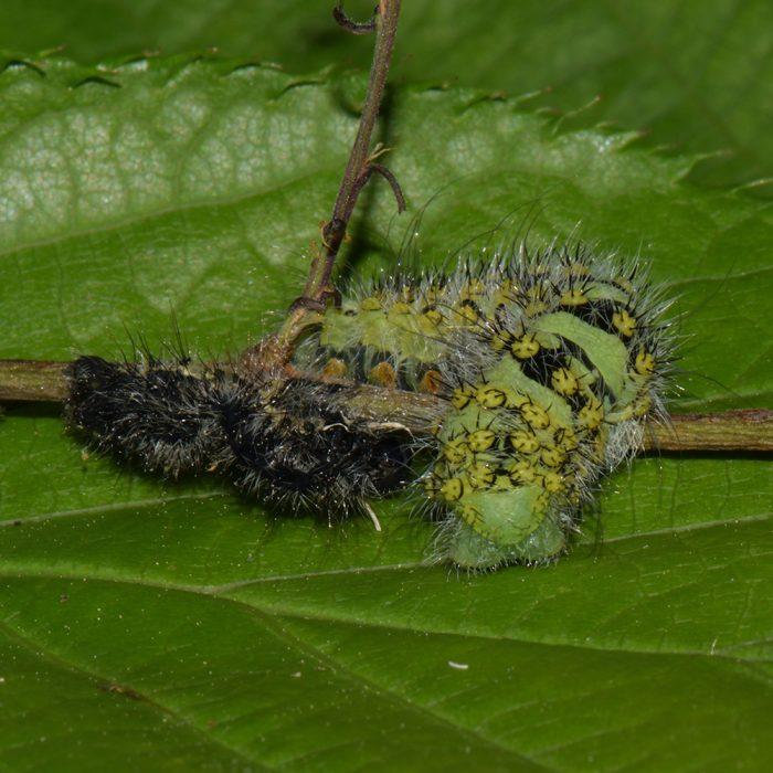 Kleines Nachtpfauenauge (Saturnia pavonia) Raupe auf Schlehe