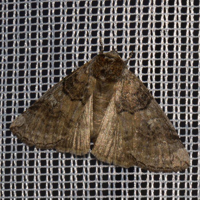Pappel-Eulenspinner (Tethea or) beim abendlichen Leuchten