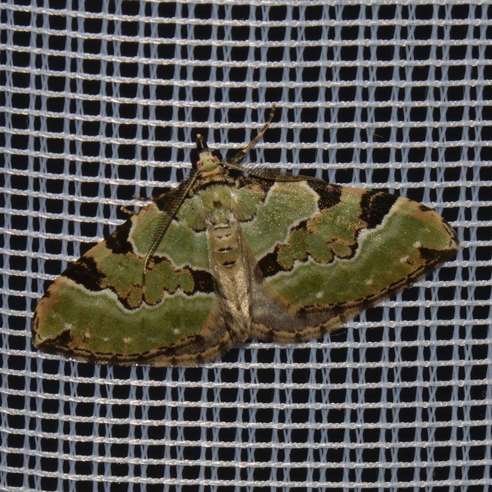 Prachtgrüner Bindenspanner (Colostygia pectinataria) beim abendlichen Leuchten