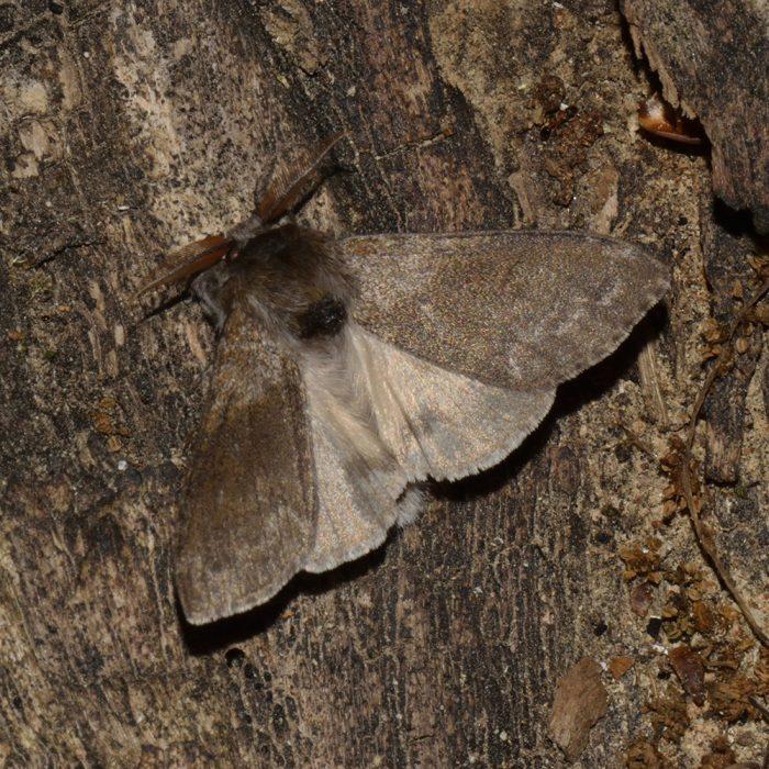 Buchen-Streckfuß (Calliteara pudibunda) auf Holz