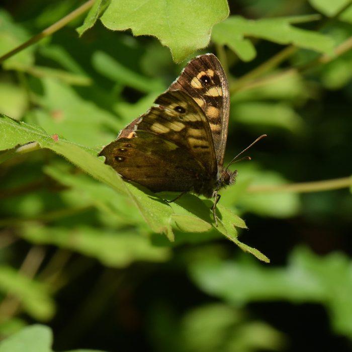 Waldbrettspiel (Pararge aegeria) auf Strauch