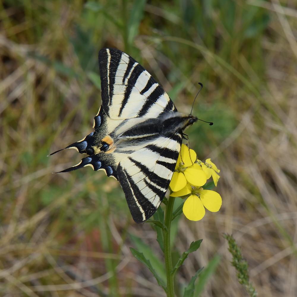 Segelfalter (Iphiclides podalirius) auf Wildblume