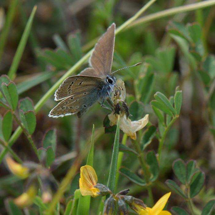 Strochschnabel-Bläuling (Eumedonia eumedon) auf Wiese