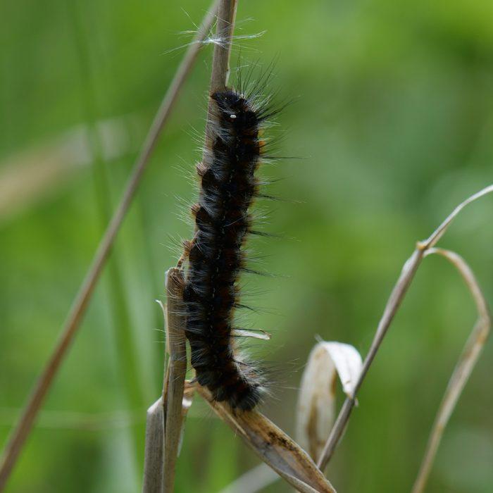 Hecken-Wollafter (Eriogaster catax) Raupe auf Gras