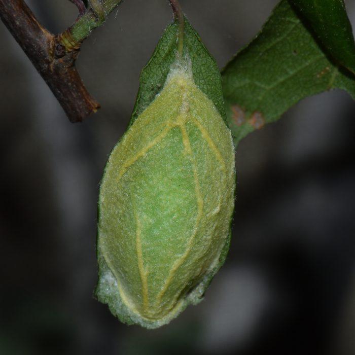 Großer Kahnspinner (Bena bicolorana) Puppe auf Schlehe