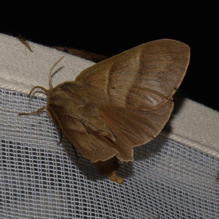 Brombeerspinner (Macrothylacia rubi) beim abendlichen Leuchten