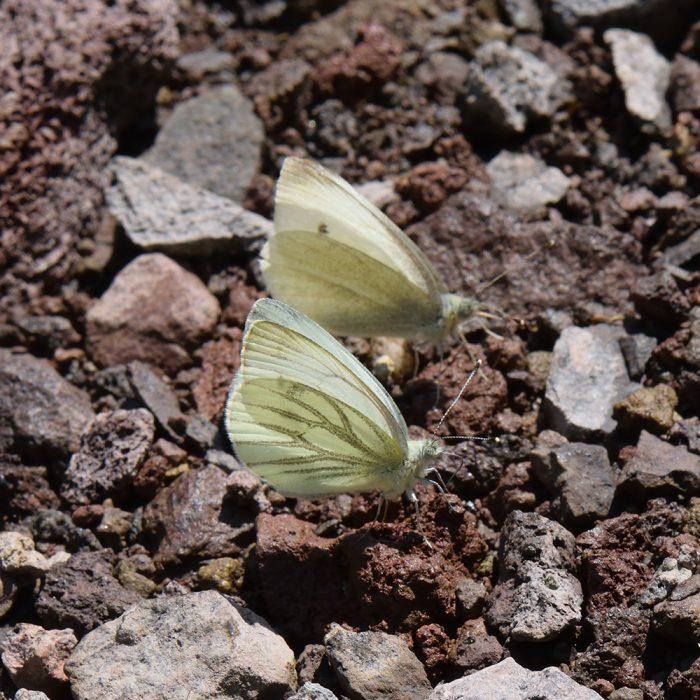 Grünader-Weißling (Pieris napi) und Kleiner Kohlweißling (Pieris rapae) auf Boden
