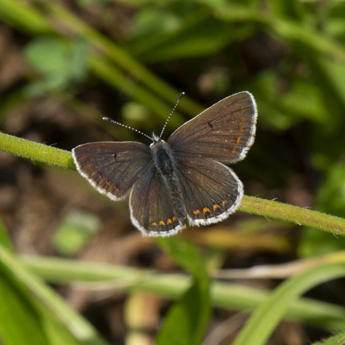 Hauhechel-Bläuling (Polyommatus icarus) auf Wiese